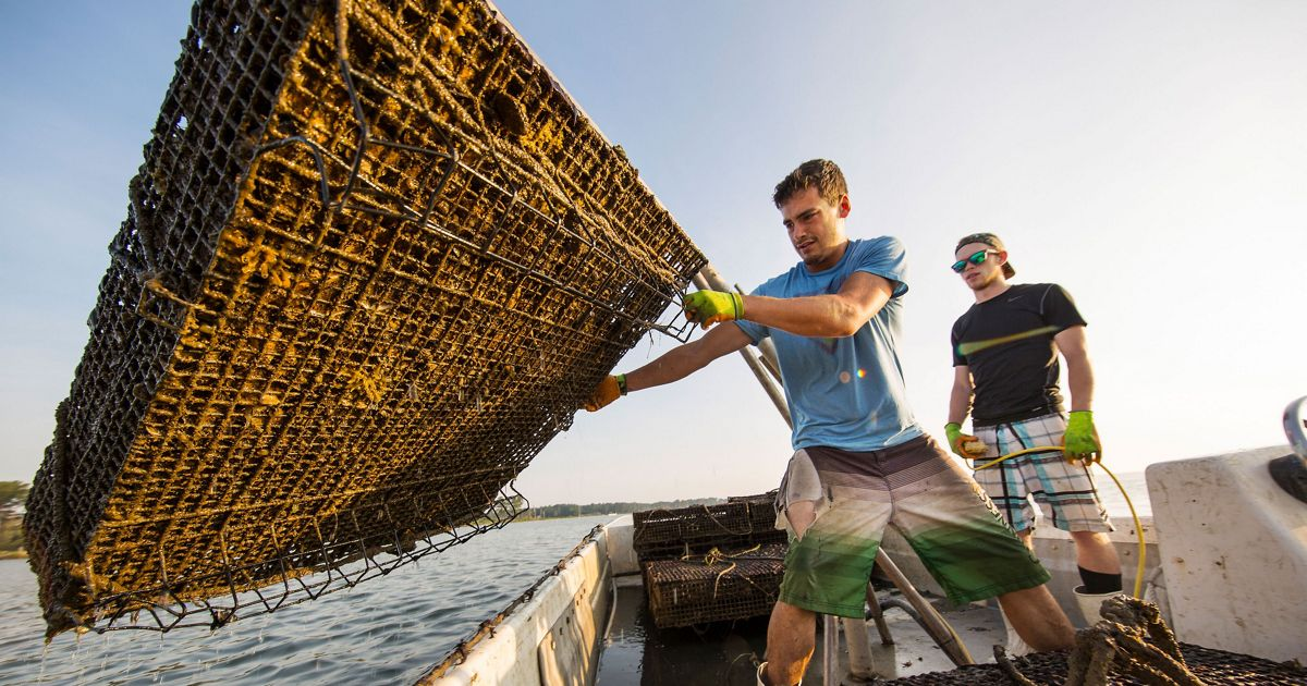An oysterman harvests oysters