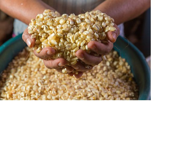 Cleaning corn kernels by hand, before boiling them over an open fire, Yucatan, Mexico