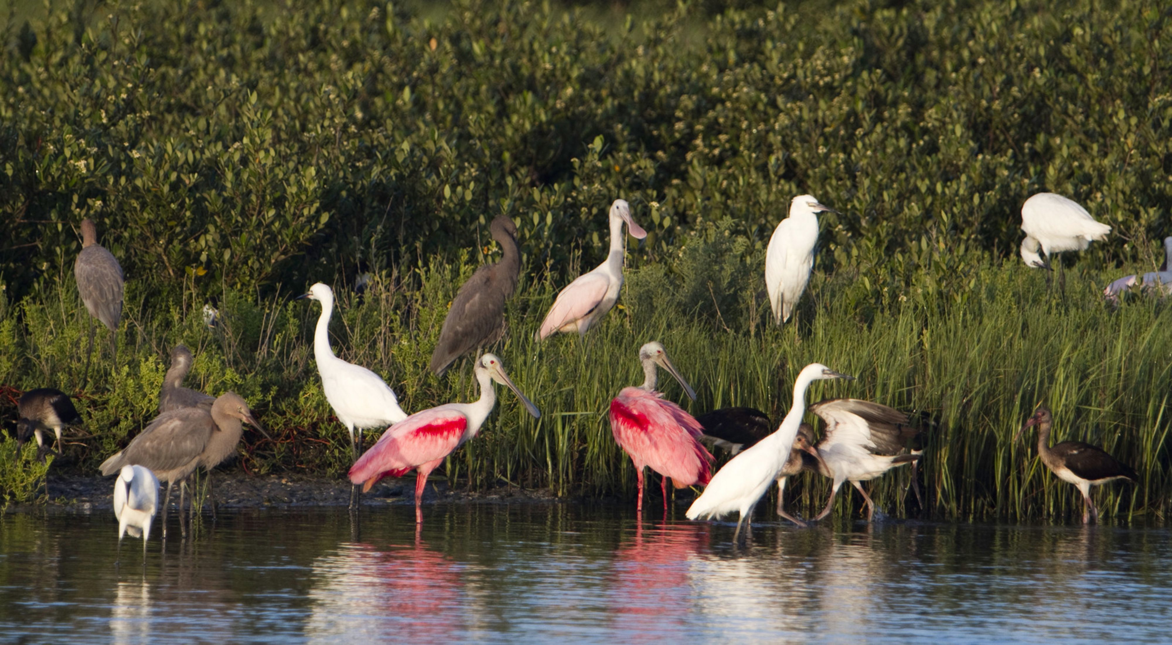 Pink, white, and brown birds stand in water and on grasses beside the water.