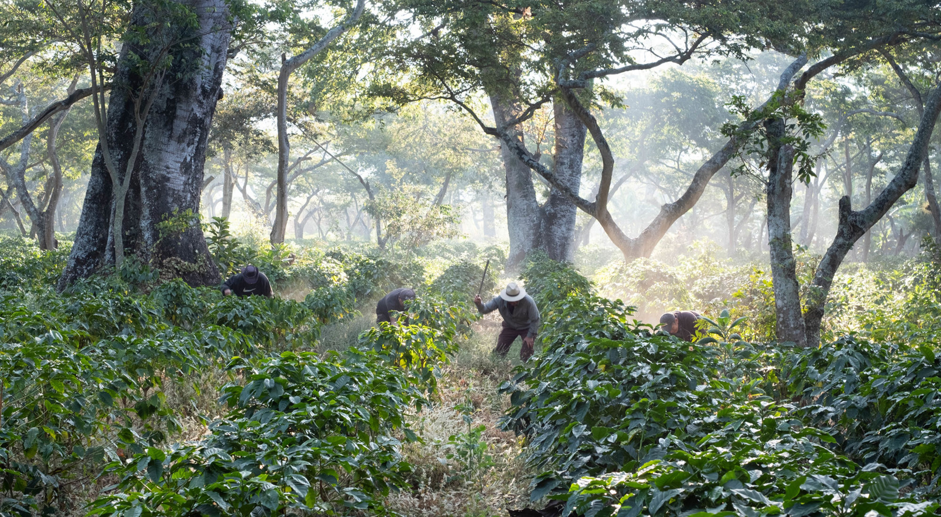 Workers clear undergrowth with machetes in shade-grown coffee crops on San Agustín Las Minas coffee plantation.