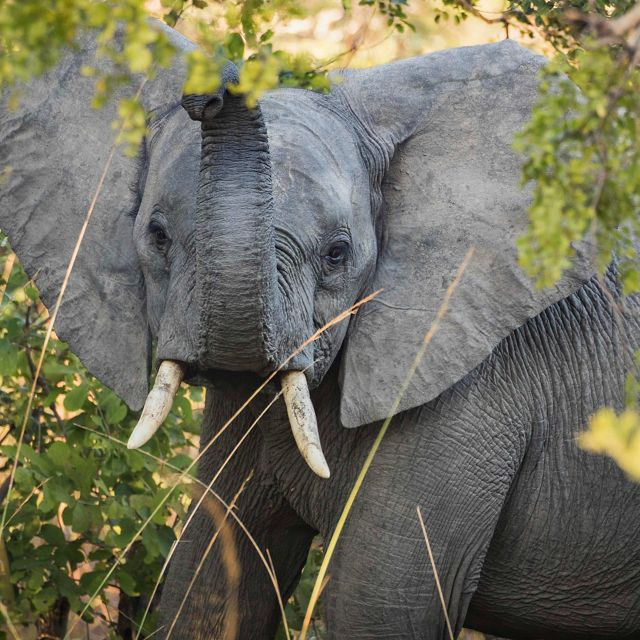 An elephant raises its trunk in Ngoma Forest at Kafue National Park in Zambia.
