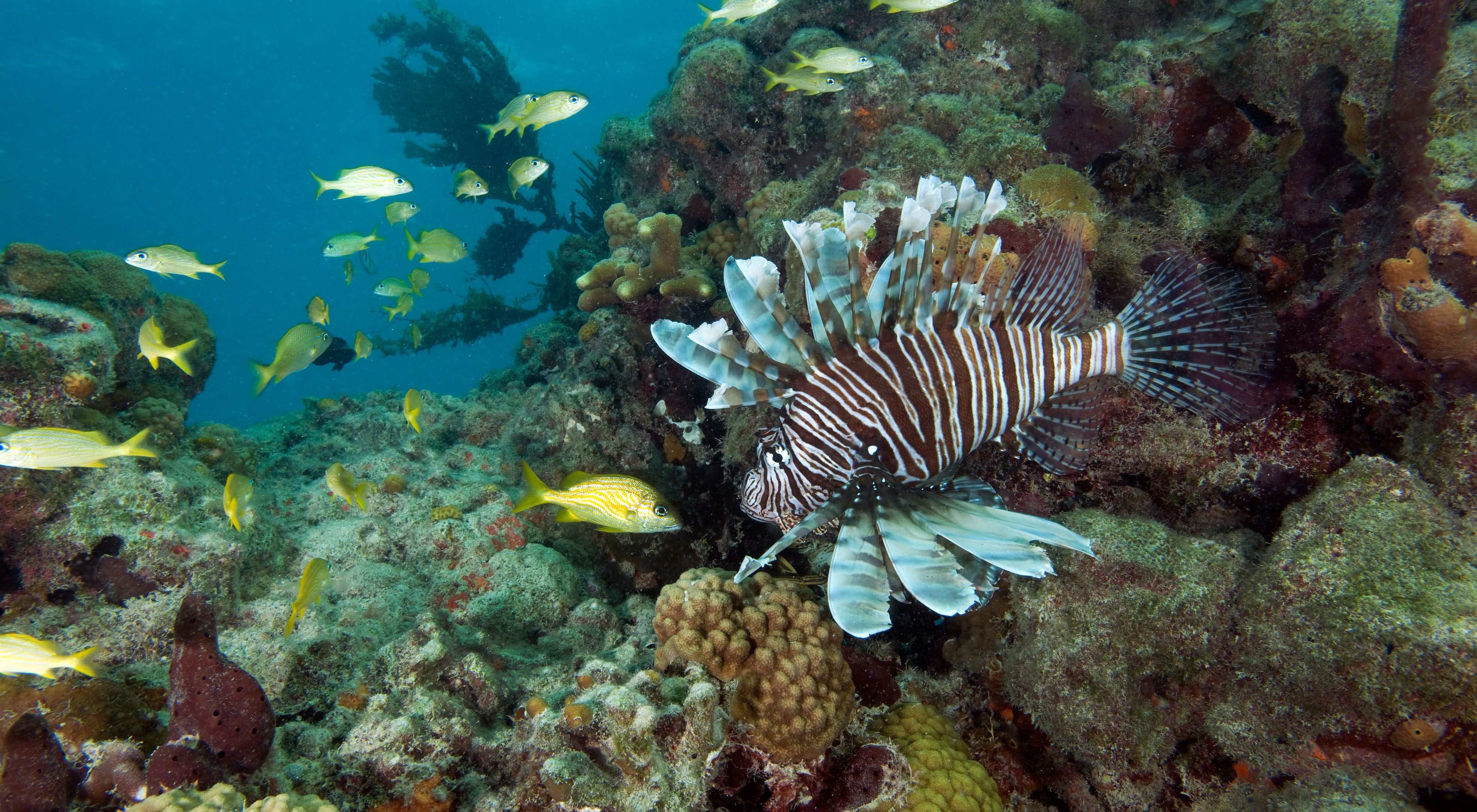 Invasive lionfish swims over a Florida coral reef with other reef fish.