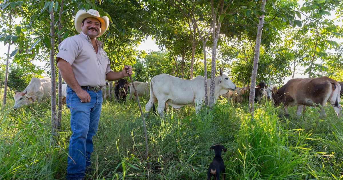 Rancher Jose Palomo stands in his 'silvopastoral' pasture in Yucatán, Mexico.