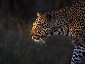 A leopard in South Africa