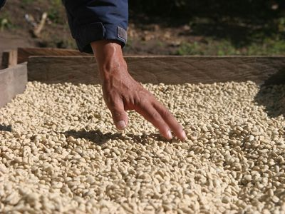Coffee beans drying in the sun at a high-altitude