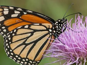 A monarch  butterfly visits a flower in Kentucky.