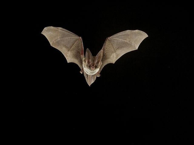 Rafinesque's big-eared bat in Big Sandy Creek Unit of Big Thicket National Preserve in Texas.