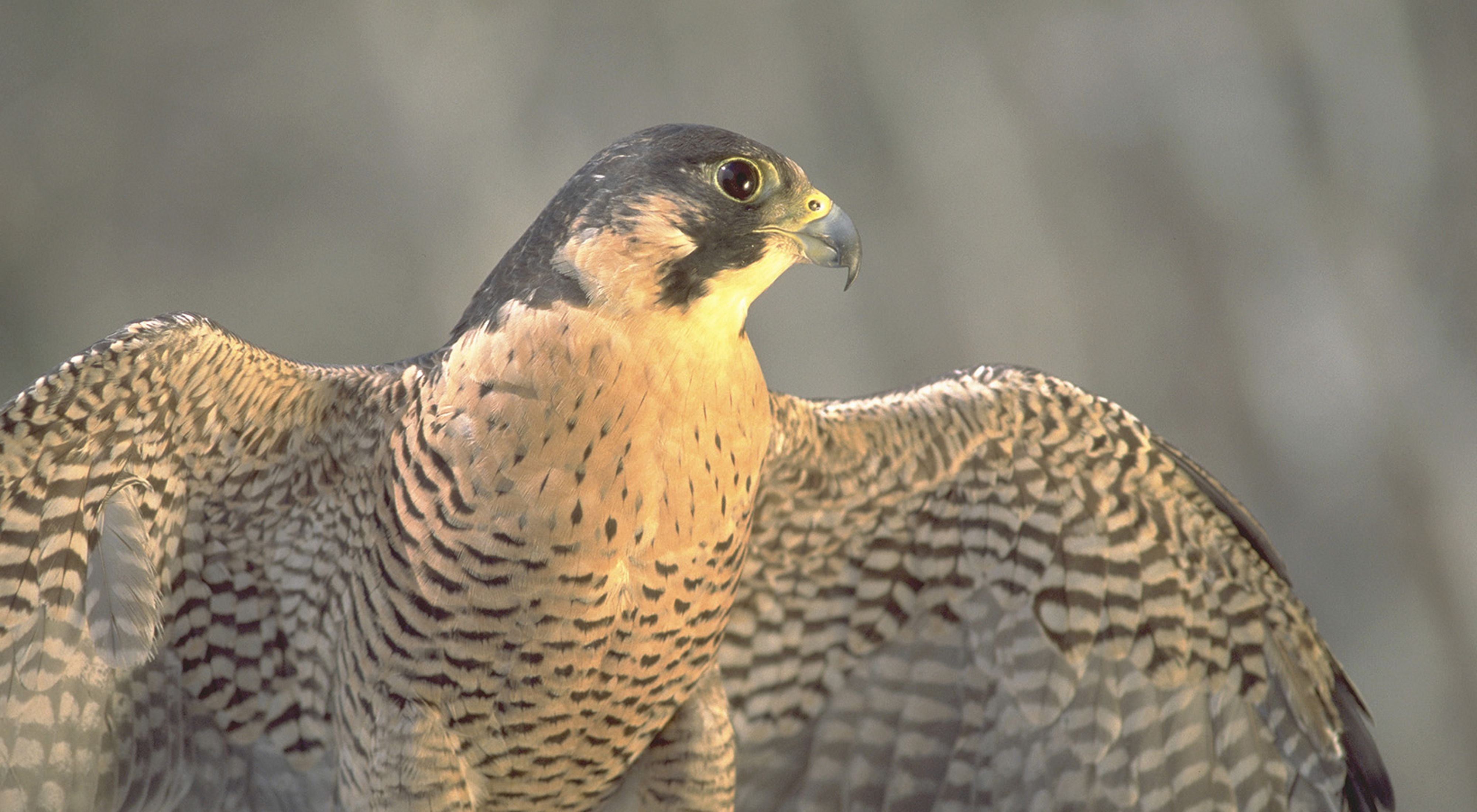 Close up view of a black and white patterned falcon that is looking to the right-hand side of the frame.
