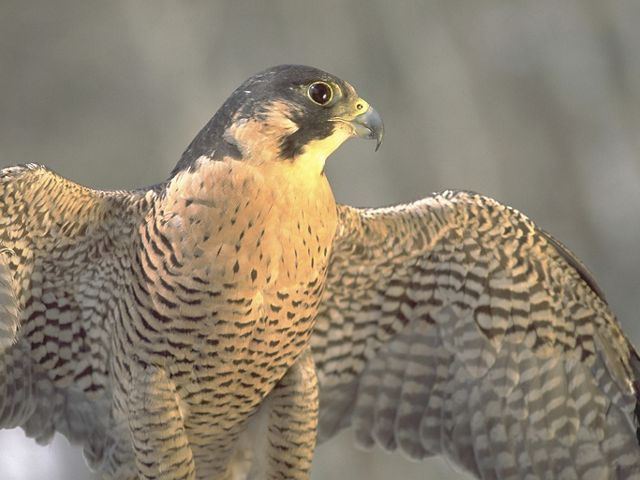 Peregrine falcon in Colorado, United States, North America.