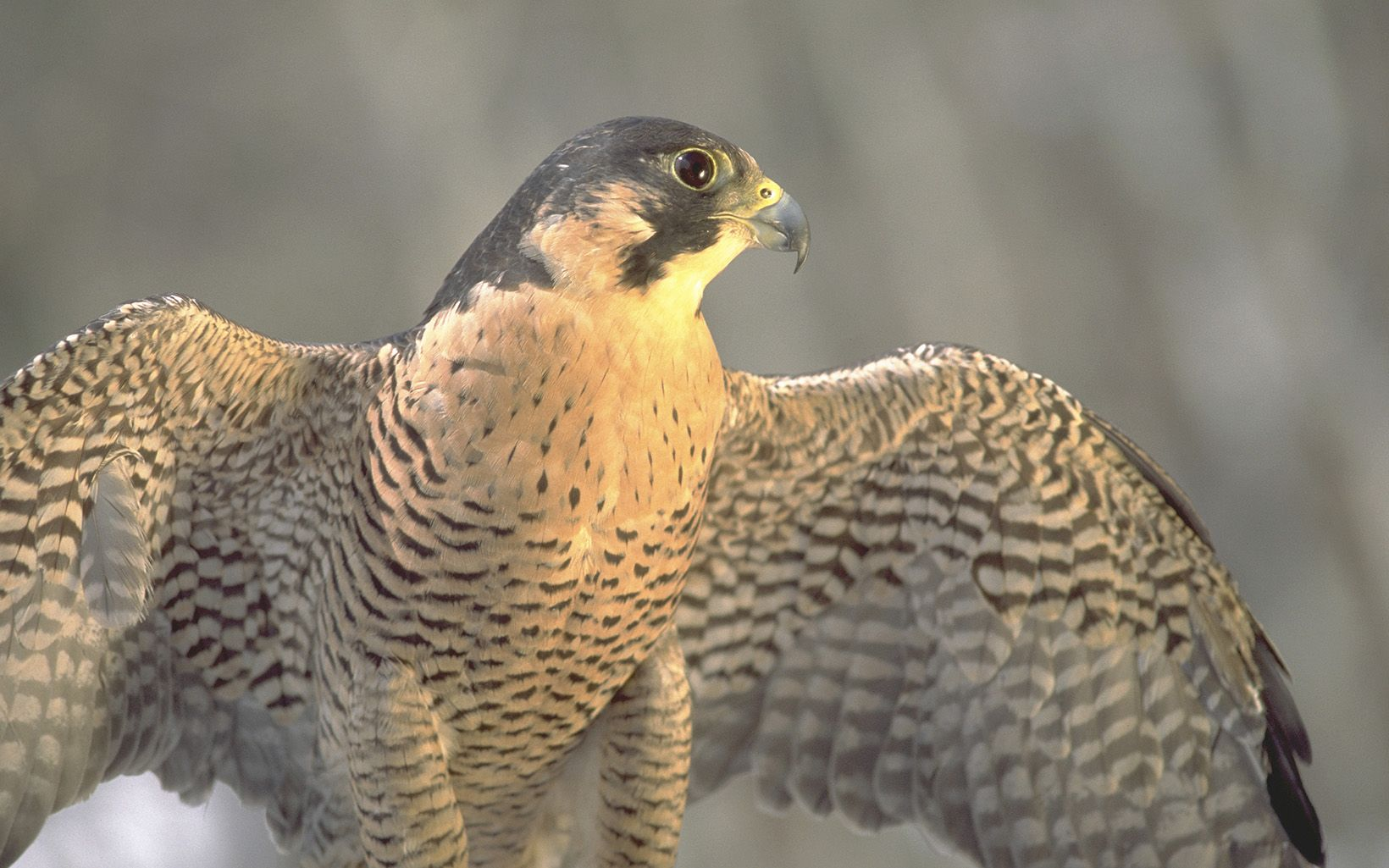 Peregrine falcon with wings spread.