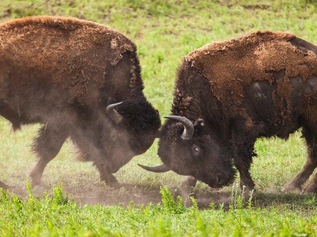 Two American bison in rutting season.