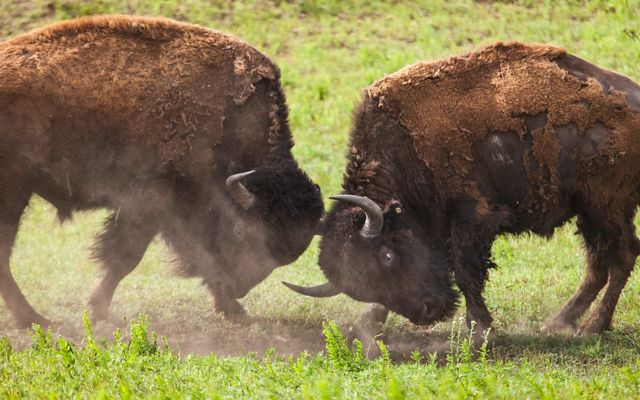 Two adult male bison forcefully butting heads.