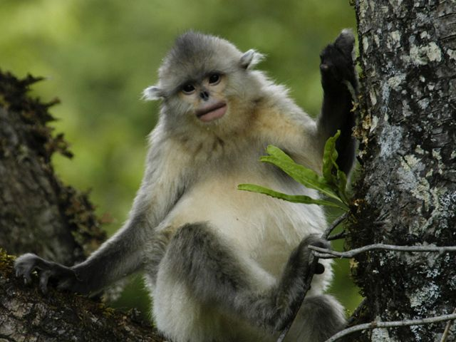 white and gray-haired monkey with black flat nose perches in tree, facing camera