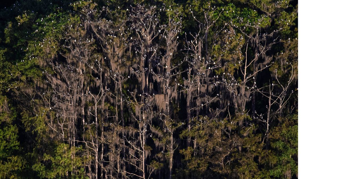 Cypress trees at night are filled with the white specks of swallow-tailed kites.