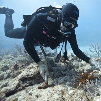 Diver looking at staghorn coral