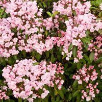A bush boasts pink flowers in bloom.