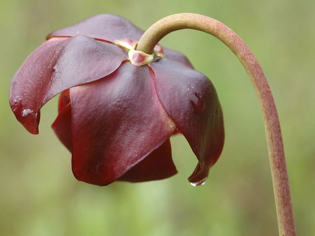 A maroon flower blooms on a long stem.