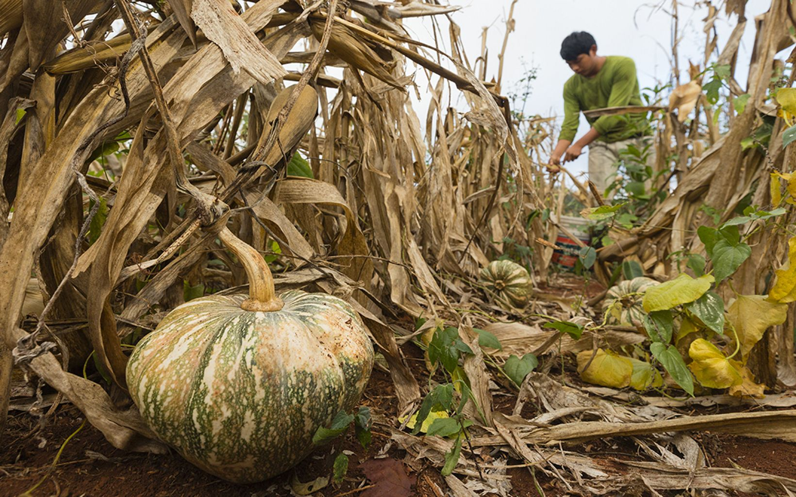 A farmer picks squash, beans and corn from his father's