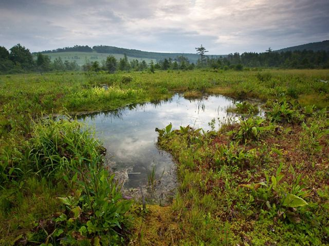 peat bog wetland with lush vegetation surrounded by forest in west virginia