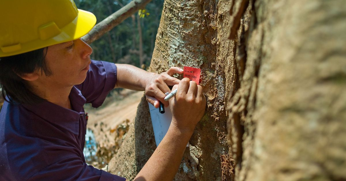 Forest planner, Suryadi Mentemas tags trees at the number four concession logging area, Indonesia.