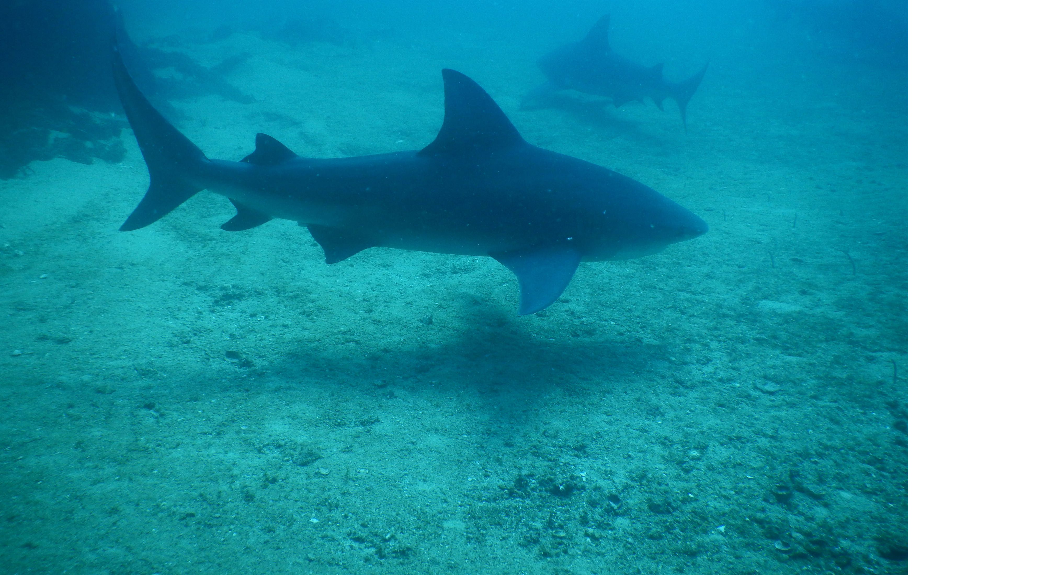 profile view of a shark in foggy blue waters
