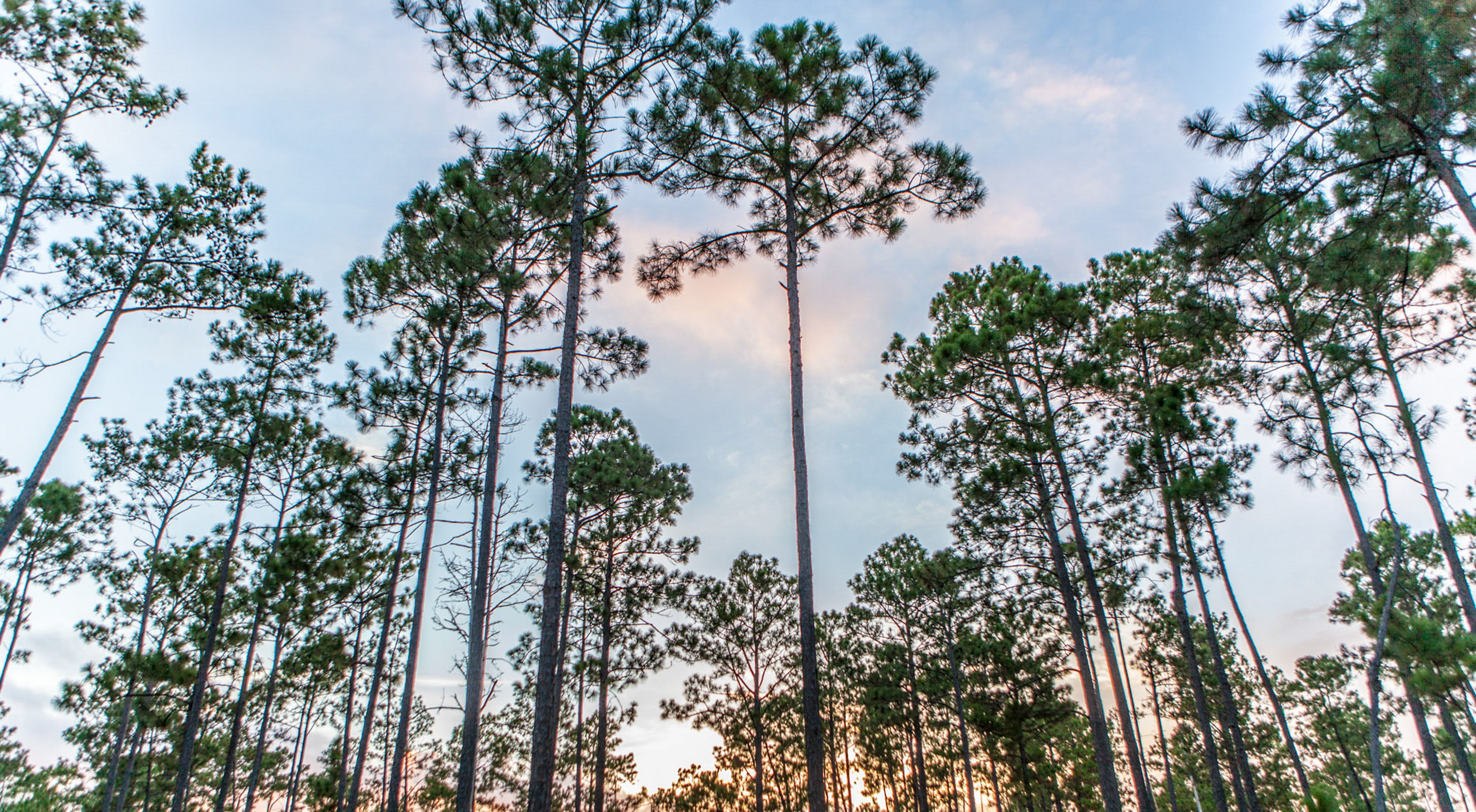 The Roy E. Larsen Sandyland Sanctuary harbors a variety of plant communities, including one of the last remaining longleaf pine communities in Texas.