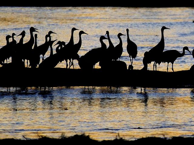 Silhouettes of sandhill cranes on a beach.
