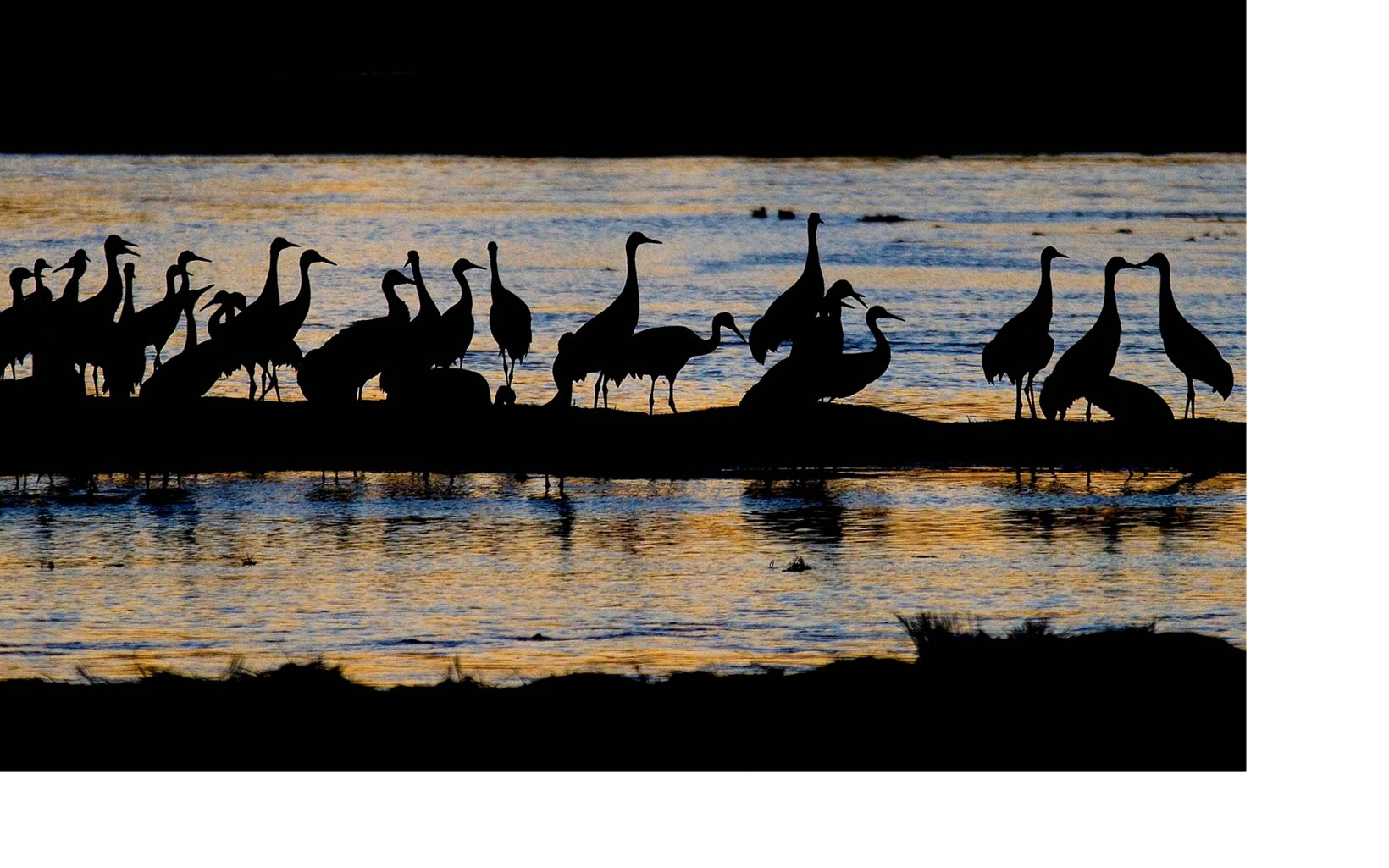 silhouettes of sandhill cranes on a beach