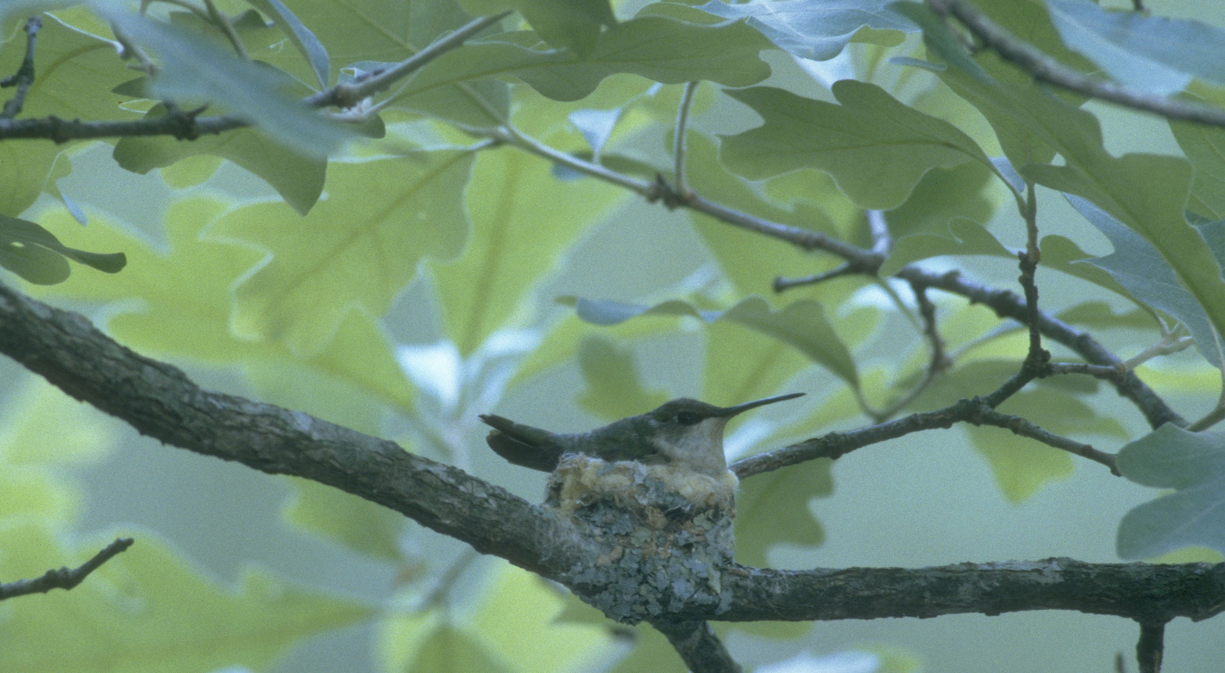 A tiny hummingbird sits in a nest cemented onto an oak tree branch.