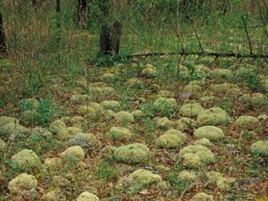 April 2002. Pipe-cleaner moss and reindeer lichen at the Prairie Grove Glades Preserve in Alabama.