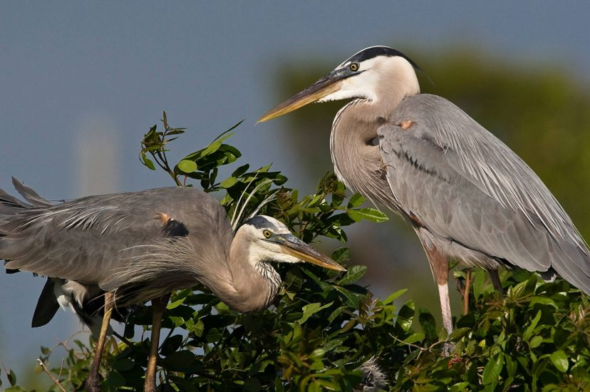 Two Great Blue Herons stand facing each other in a large nest. Two long legged gray-blue shore birds with long thin necks and long pointed beaks.