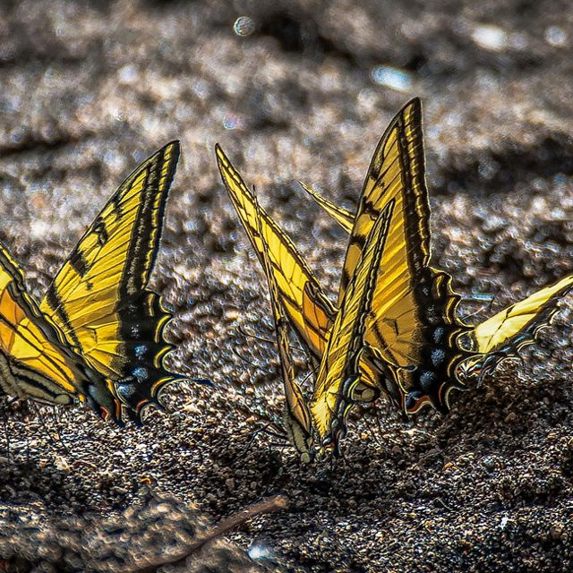 A closeup of three yellow butterflies on dirt.