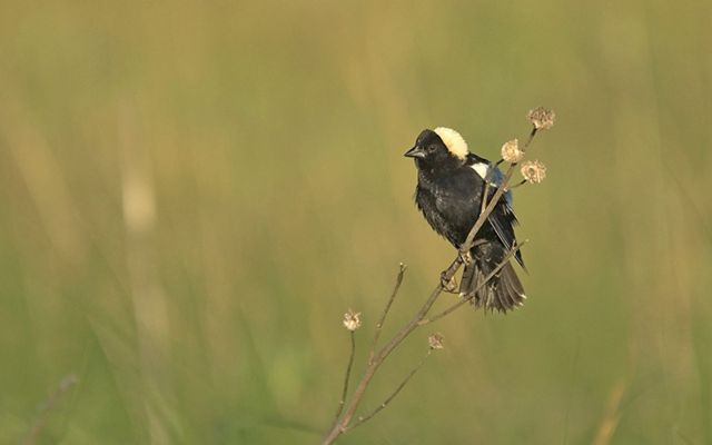 A black bird with a tuft of creamy white on the top of its head, sits on the end of a branch in the middle of a grassy field