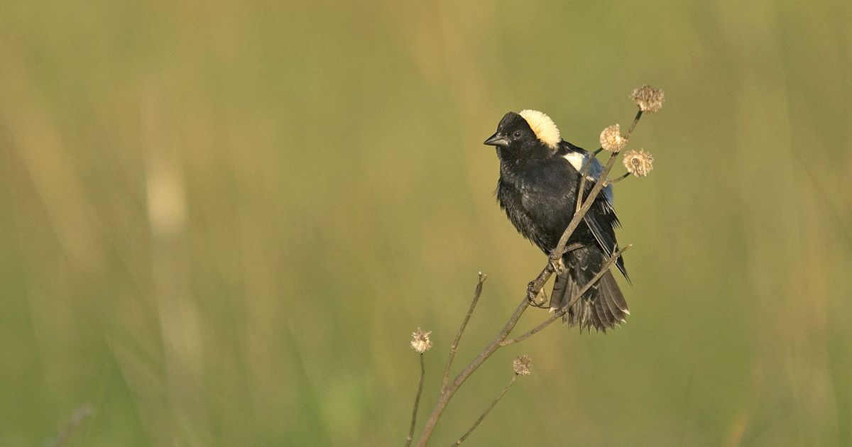 Bobolinks and other grassland birds rely on native prairie and grasslands.