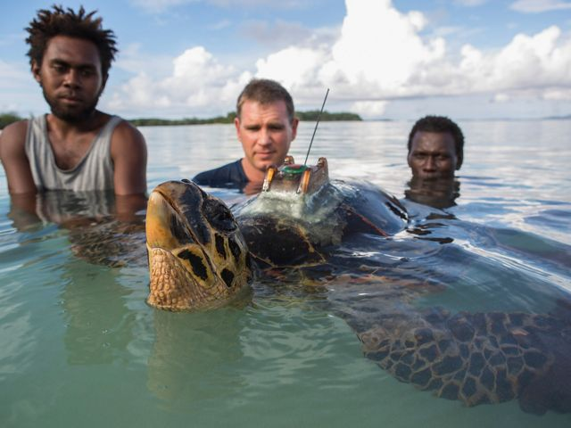 Scientists set a tagged hawksbill free in the ocean