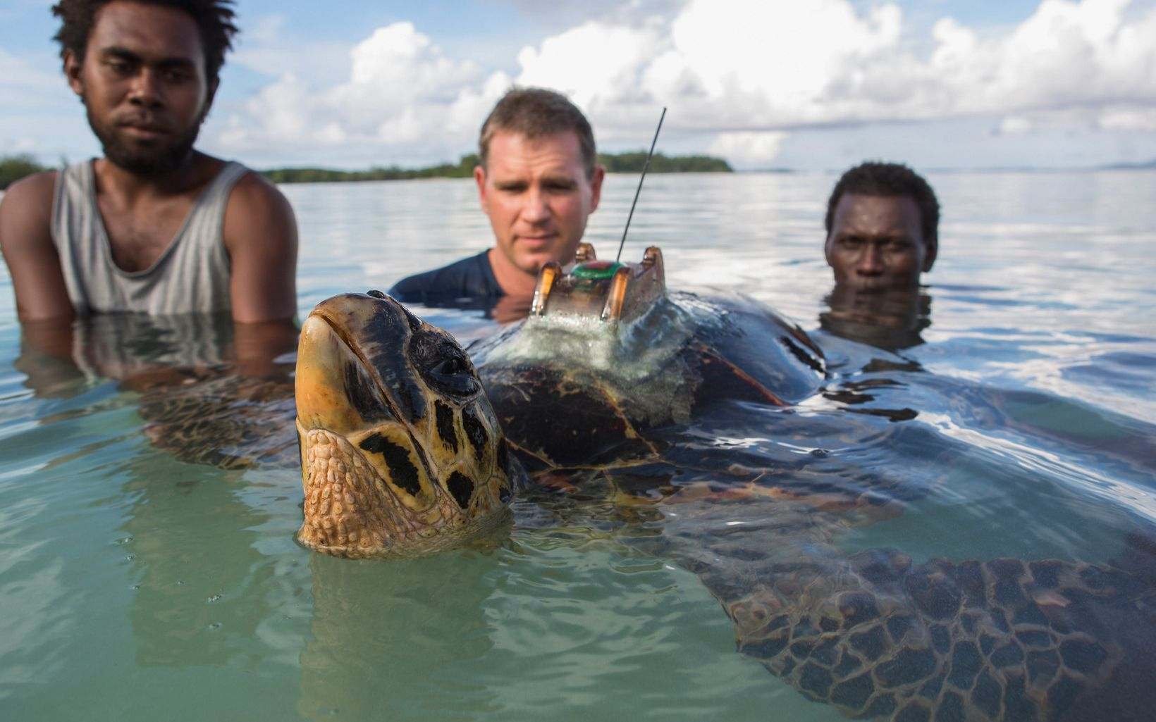 three men in the water tagging a sea turtle