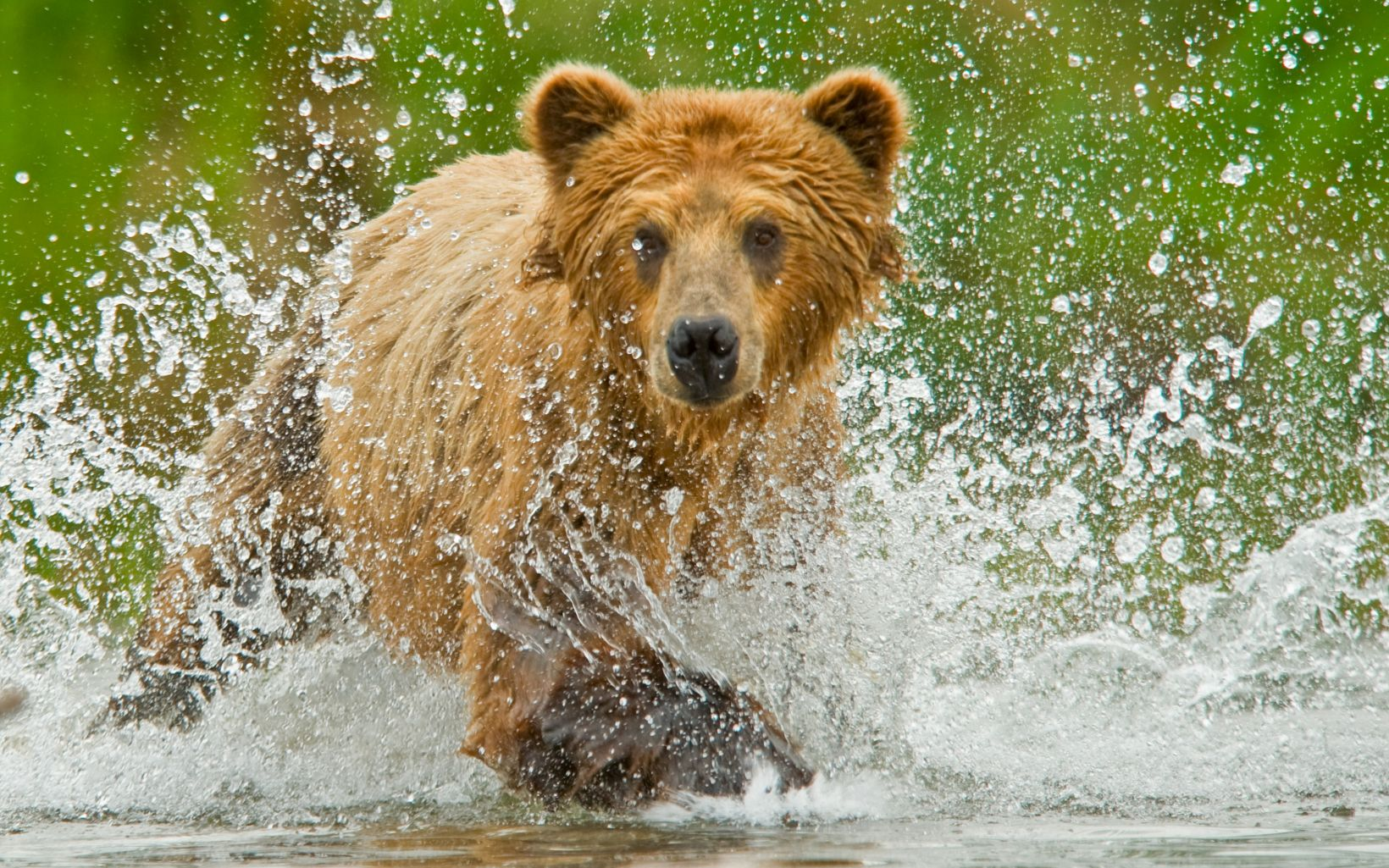 Brown bear fishing for salmon in Alaska