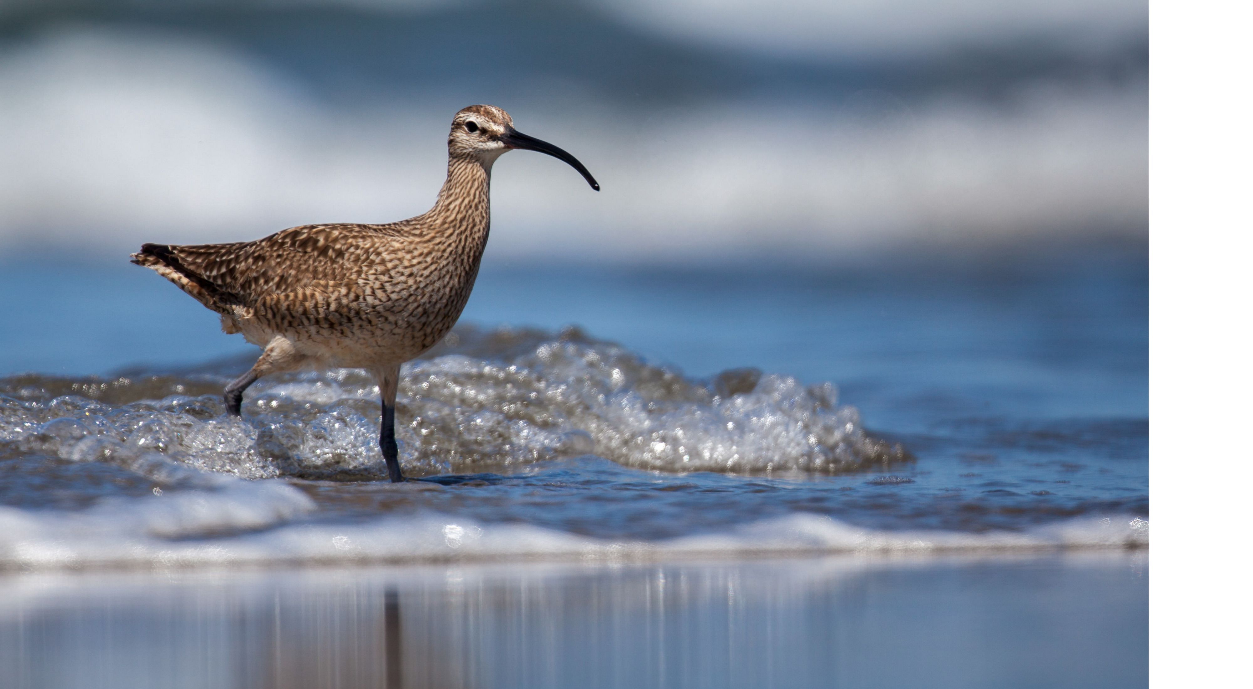 Whimbrel splashing along a shoreline
