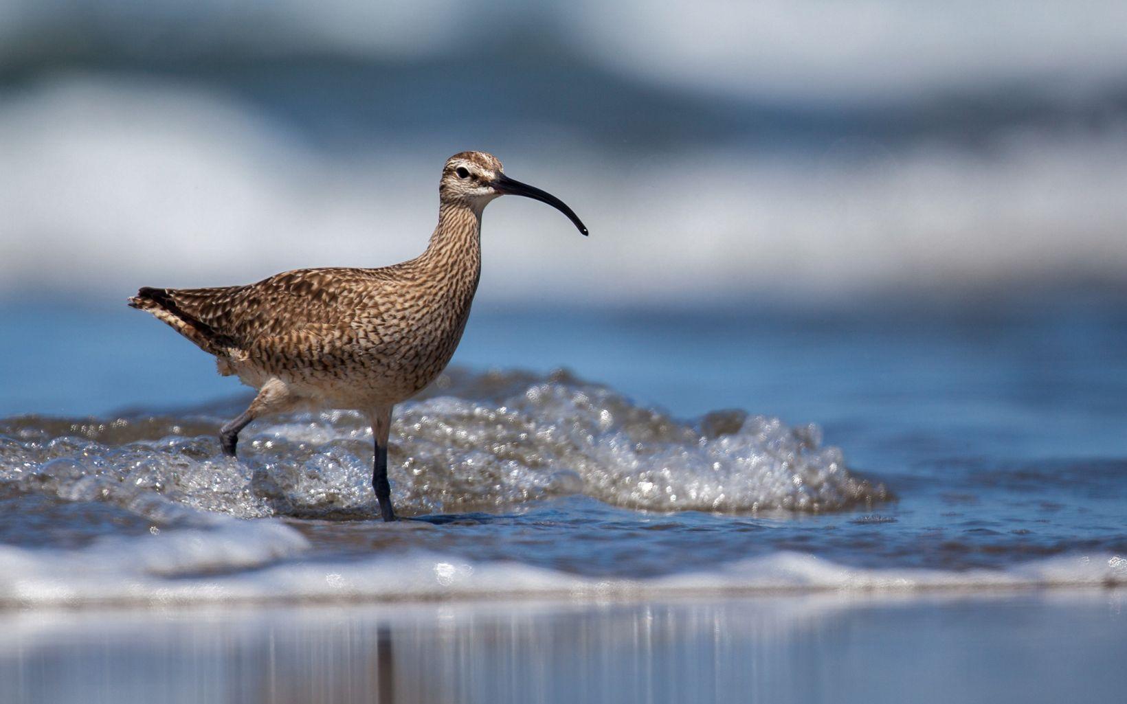 Long billed brown, beige and white speckled bird splashing in shallow water.