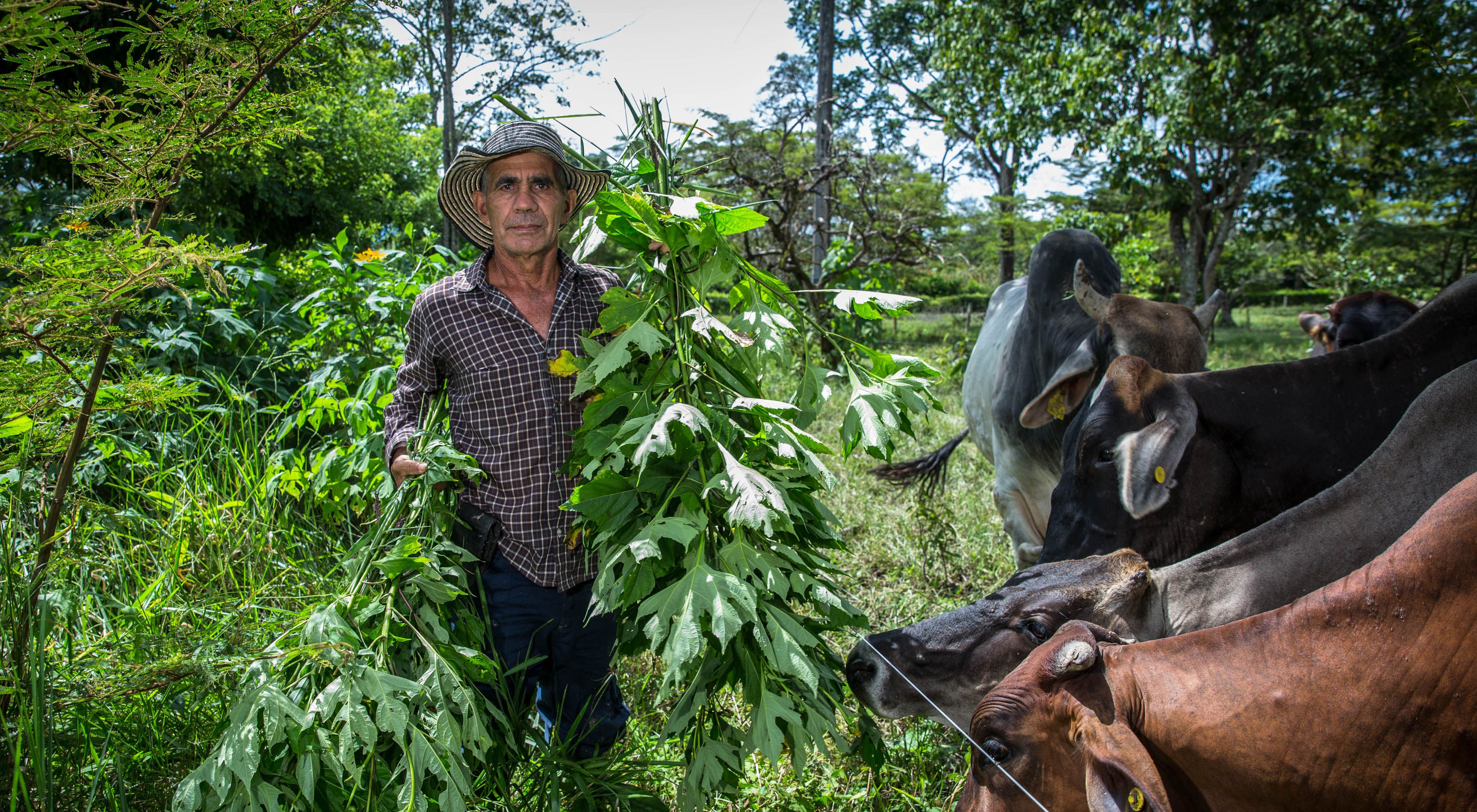 what is locally known as Boton de Oro, which contains high protein content, Cubarral, Meta, Colombia.