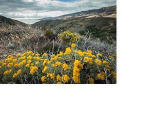 Wildflowers bloom on the largest of the Channel Islands in California.