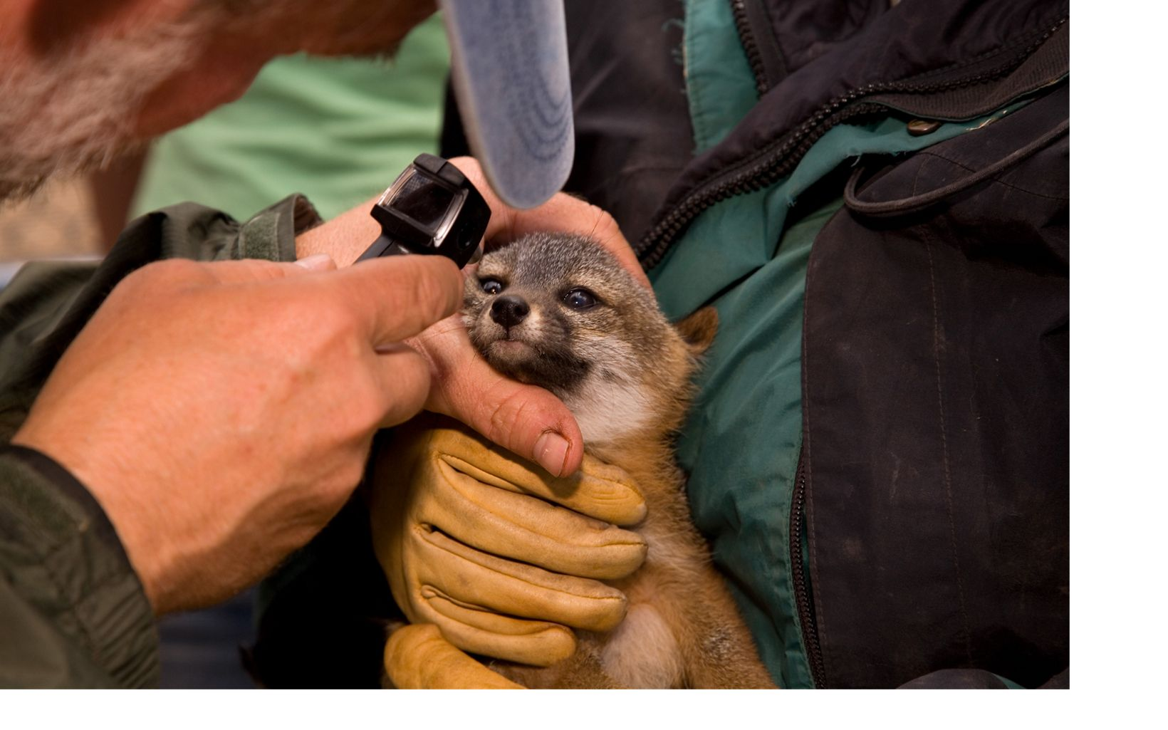 vet using a tool to look into a fox's eye