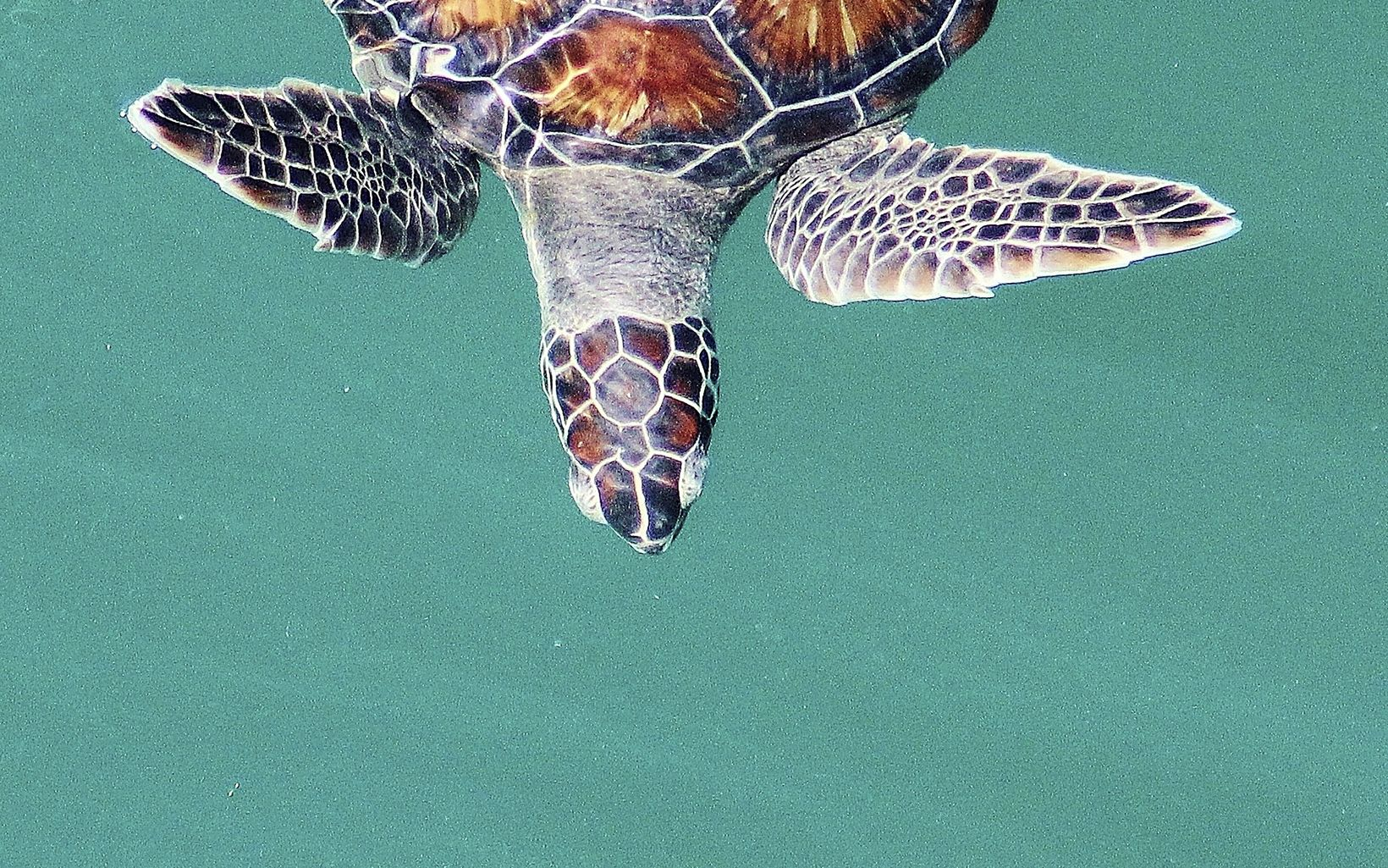 above view of a sea turtle in tropical green water