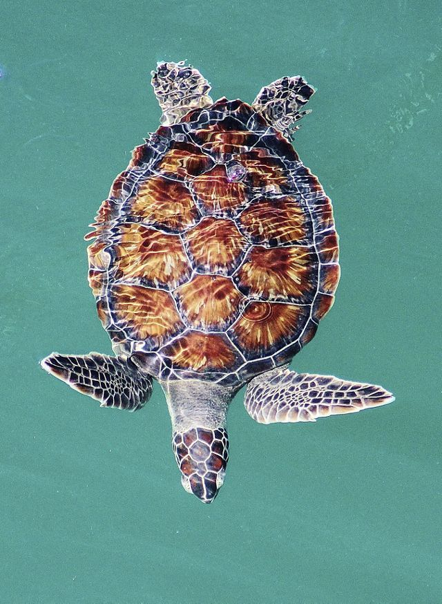Top down view of a green sea turtle swimming in water.