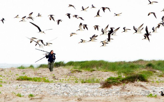 A woman walks through the dunes with a tripod balanced on her shoulder. Orange beaked black skimmer shorebirds fly overhead.