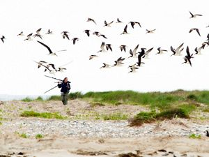 Black skimmers take to the sky during a shore bird nesting survey on Wreck Island, Virginia Coast Reserve.