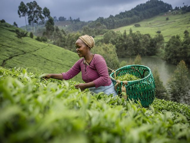 A women smiles as she picks tea with a basket on her back.