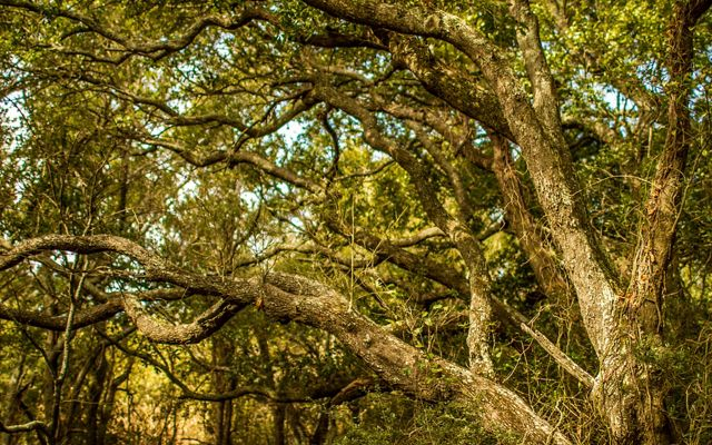 Quercus virginiana in Lafitte Woods on Grand Isle, Louisiana. Lafitte Woods are some of the last remaining undeveloped Chenier habitats (live oak ridges) on the island.
