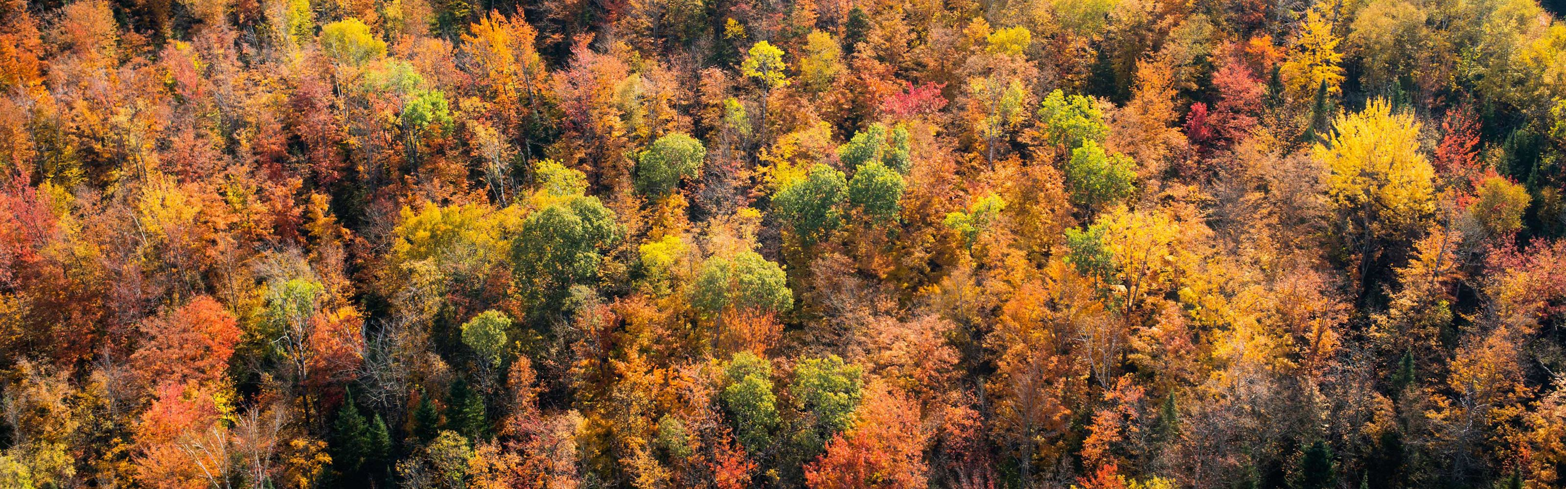 Overhead view of dense orange, autumn trees