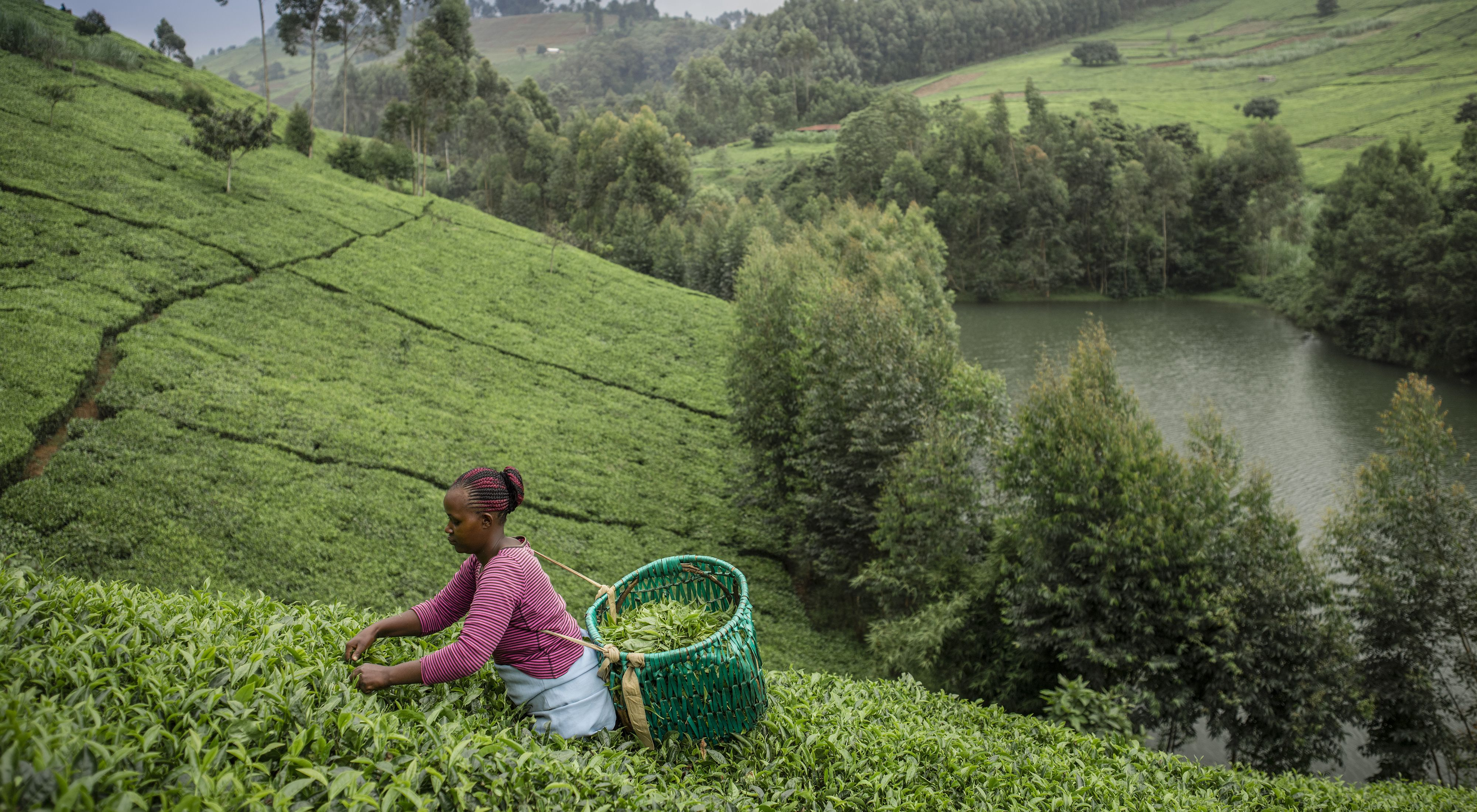 Woman picking tea leaves near the Upper Tana river.